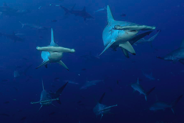 School of hammerhead sharks in Cocos Island, ©Unterseahunter Group
