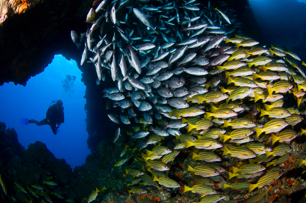 School of fish in Cocos Island, ©Unterseahunter Group