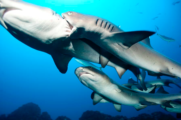 Underseahunter Group - white tip sharks in Cocos Island