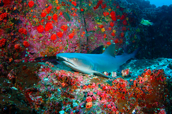 White-tip shark in cave, ©Underseahunter Group