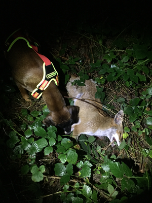 Totsuche auf Fuchs