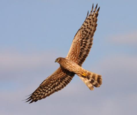 Wiesenweihe-Weibchen von unten (c) Z. Tunka/LBV-Archiv