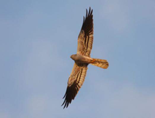 Wiesenweihe-Männchen von unten (c) Z. Tunka/LBV-Archiv