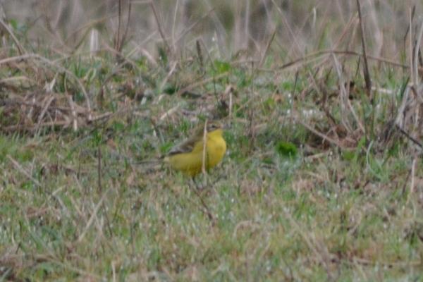 Männchen, Bättwil, 18.09.2015. Vogel mit grünem Opferkopf, gelber Kehle und deutlichen beigem Überaugenstreif.