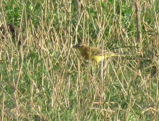 Männchen, Bättwil, 11.09.2015. Vogel mit grünem Opferkopf, gelber Kehle und deutlich gelblichem Überaugenstreif.