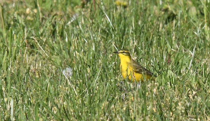 Tessin, Mai 2015: ein flavissima-Männchen (Bild: Jaro)