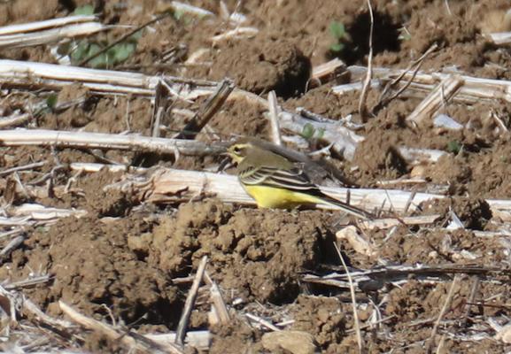 Rodersdorf, 09.092018: Weibchenfarbiger (?) Vogel mit deutlichem gelbem Überaugenstreif (Bild: Dominic).