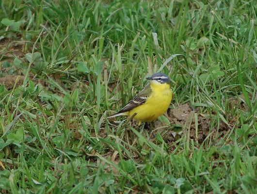 Stein, 16.04.2008: typisch gefärbtes flava-Männchen im Frühling