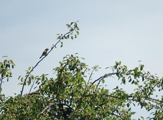 Ein Bild aus vergangenen Zeiten: Rotkopfwürger im Oberbaselbieter Brutgebiet im Jahr 2009 (N. Martinez).