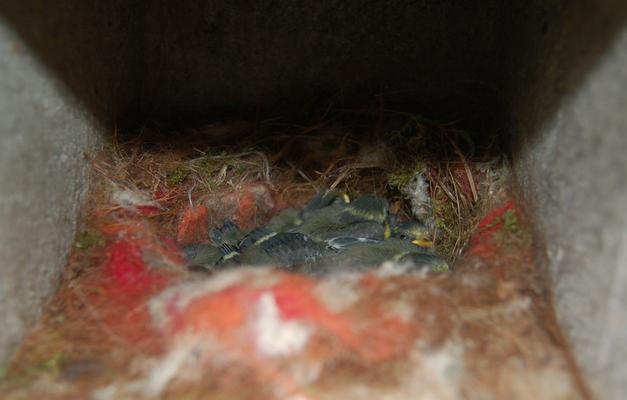 Blaumeisen-Nest