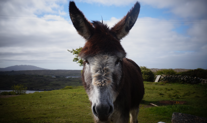 Hillside Lodge - Clifden, Connemara, Galway County, Ireland - Landscape - donkey