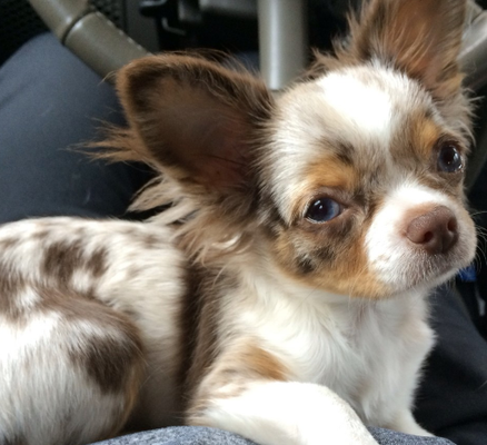 Chihuahua Puppies For Sale In Long Beach Ca