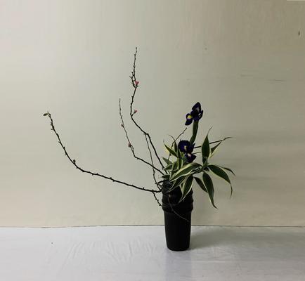 2019.2.20 <木瓜(ボケ) ダッチアイリス ドラセナ・サンデリアーナ> Chiakiさんの作品です。