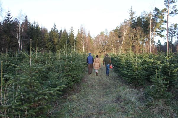 Unser Weihnachtsbäumwäldchen im Harz. Harzer Tanne