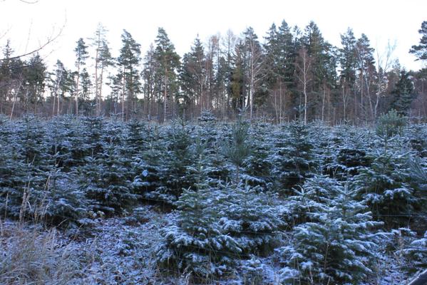 Mitten im Wald stehen Nordmanntannen, Nobilis- und Blautannen. Harzer Tanne