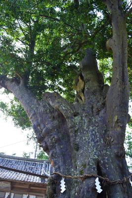 天宮神社のナギの巨木(ナギは近畿以西の比較的温暖な気候を好む樹木なのでここら辺では結構珍しいです。ナギには縁が切れないご利益があるとのこと。)