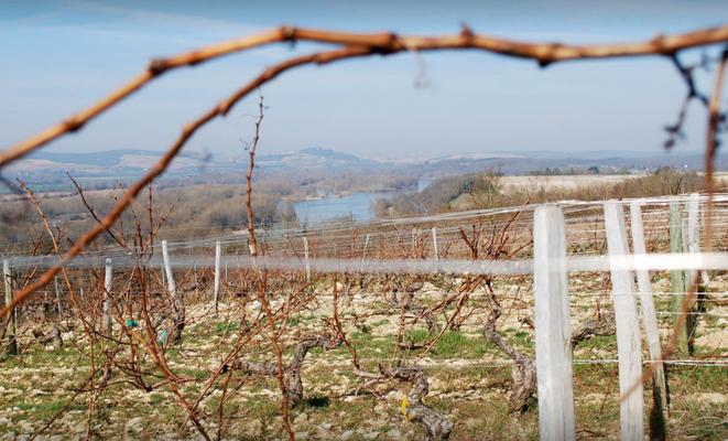 Ongesnoeide wijngaard van Pouilly Fumé met in de verte de Loire.