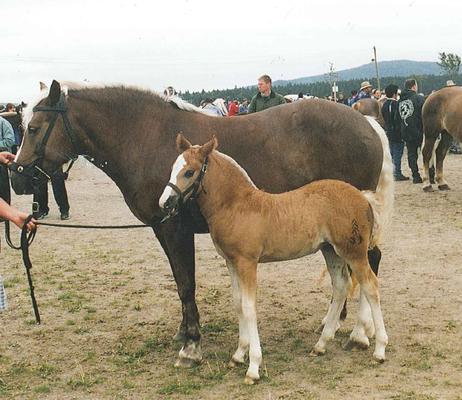 Rebecca von Riegel an der Fohlenschau 2001 wurde ins Saarland verkauft
