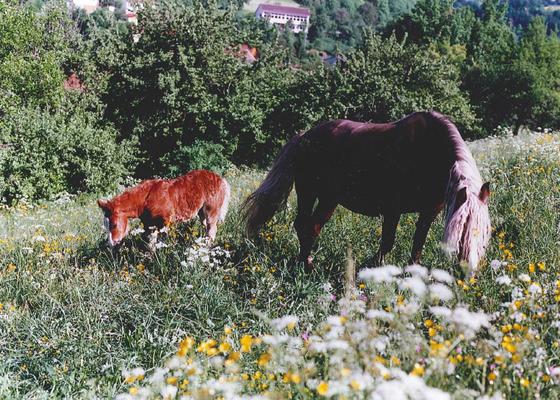 Rosa mit Fohlen