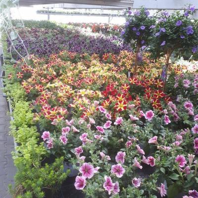 Beet Und Balkonpflanzen Blumen Ehrenreichs Webseite