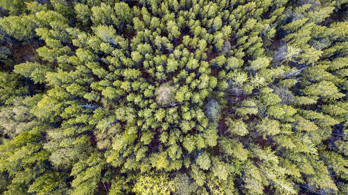 Wald im Yukon Canada