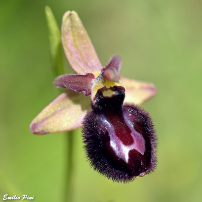 Ophrys majellensis