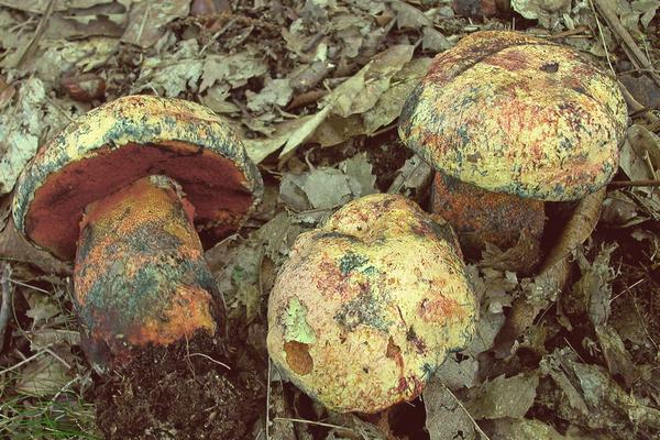 Boletus luteocupreus Bertéa & Estadès (NON COMMESTIBILE)                      Foto Emilio Pini