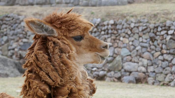 Flauschige Lamas