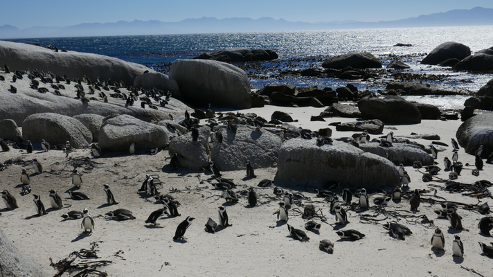 Pinguine am Stand von Simon's Town