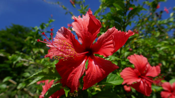 Huahine ist ein Blütenparadies