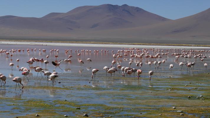 Flamingos hat es fast überall
