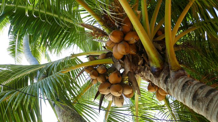 Kokospalmen an jeder Ecke