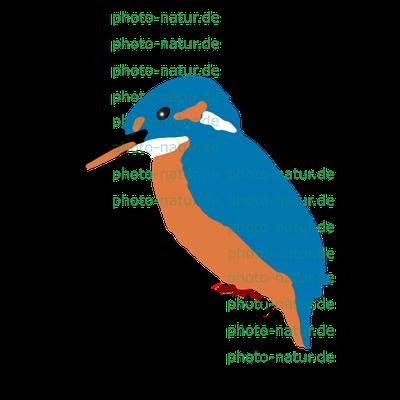 Eisvogel (Alcedo atthis) - 7