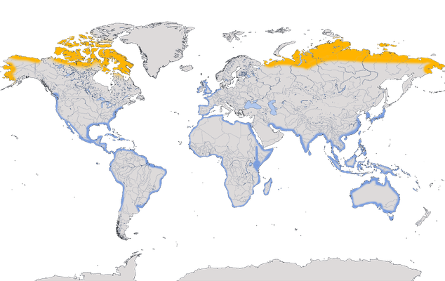 Karte zur Verbreitung des Kiebitzregenpfeifers (Pluvialis squatarola)