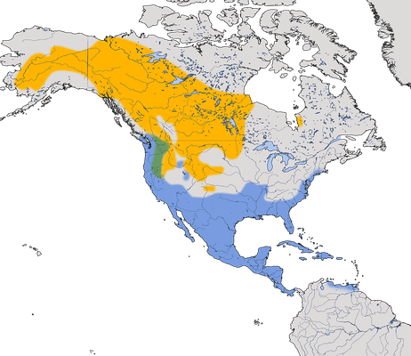 Karte zur Verbreitung der Kleinen Bergente in Nordamerika