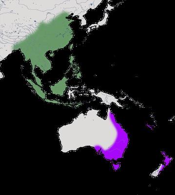 Karte zur Verbreitung der Perlhalstaube (Streptopelia chinensis).