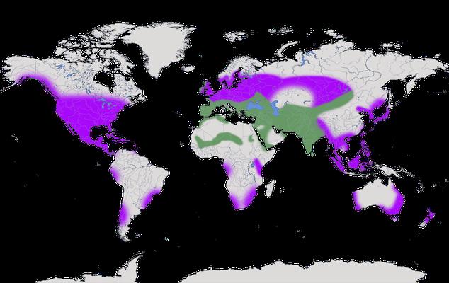 Karte zur Verbreitung der Felsentaube (Columba livia).
