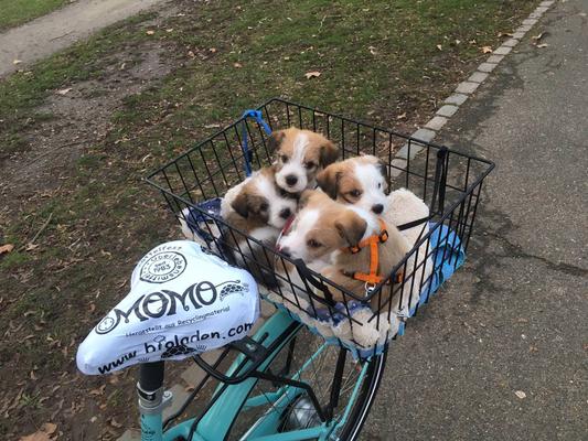 Cookie, Murmel, Chara & Onni beim Fahrrad-Gassi