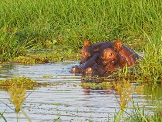 Flusspferd Amboseli Nationalpark