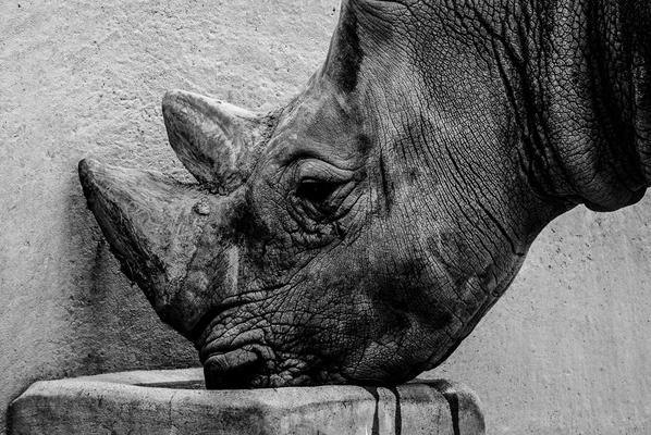 Nashorn im Zoo Erfurt