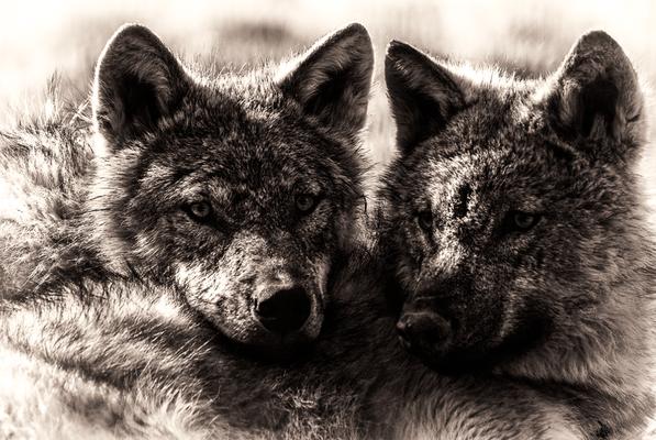 zwei junge Wölfe im Tierpark Gotha