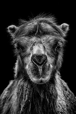 Kamel im Zoo Erfurt