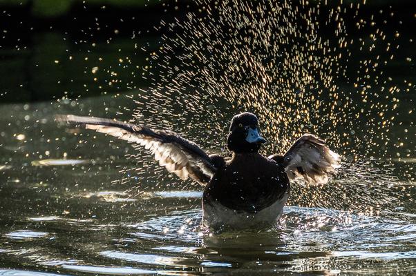 Ente im Gegenlicht