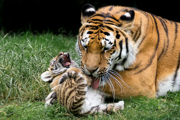lachendes Tigerbaby im Tierpark Gotha