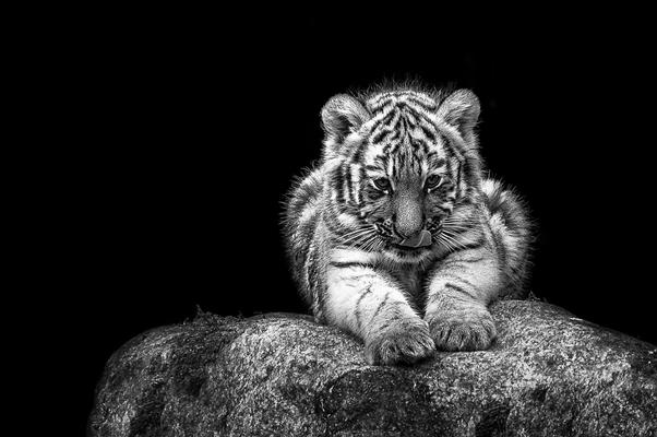 Tigerbaby im Tierpark Gotha