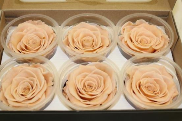 Infinity Rose in creme Farbe