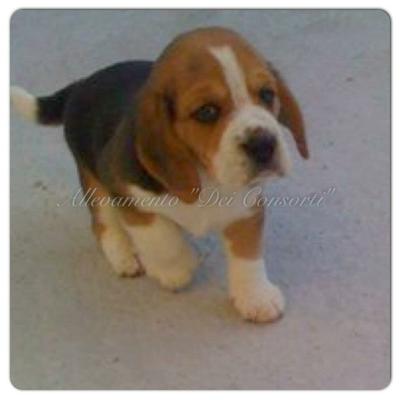 Beagle Allevamento Dei Consorti Encifci La Felicitá Inizia