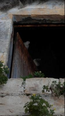 Täubchen an der Klagemauer