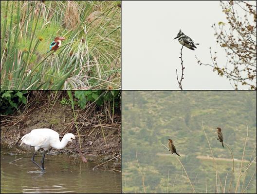 White-throated Kingfisher (Halcyon smyrnensis), Pied Kingfisher (Ceryle rudis), Eurasian Spoonbill (Platalea leucorodia) and Pygmy Cormorants (Microcarbo pygmaeus).