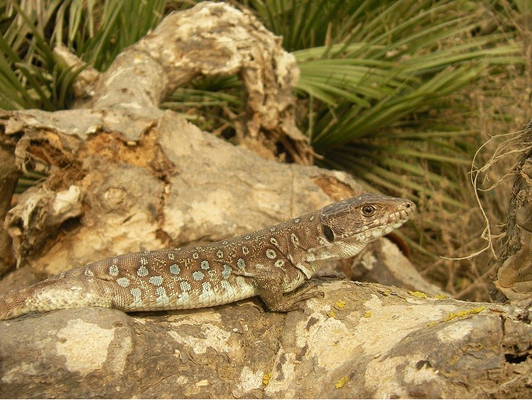 Ocellated Lizard (Timon nevadensis), Murcia, Spain, October 2011